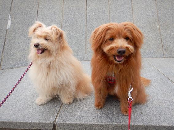 もふもふ犬が並んでいる写真