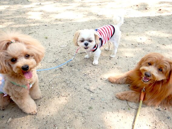 トイプードルとシー・ズーとMIX犬