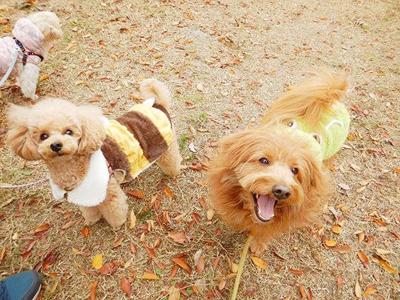 トイプードルとMIX犬