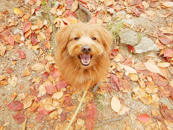 落ち葉の中笑顔の犬