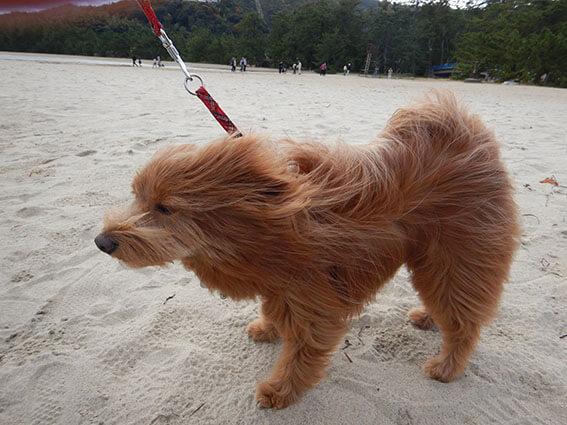 強風で毛がボサボサの犬