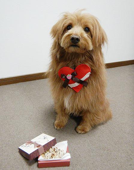 バレインタインのプレゼントをもらう犬