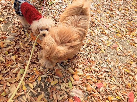 犬にリードをくわえられる犬