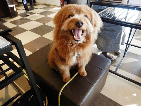 ドッグカフェでニコニコする犬