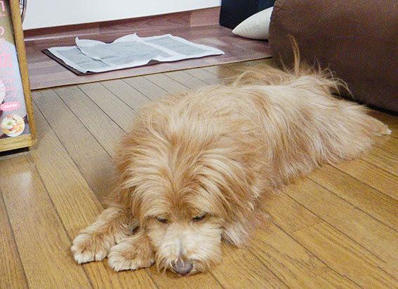 トイレの前で寝る犬