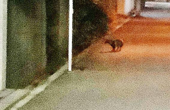 住宅街で発見された狸