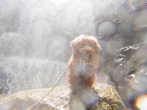 滝行する犬