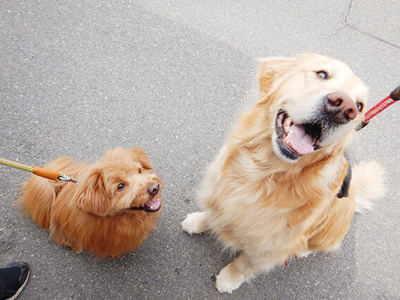 ゴールデンレトリバーとMIX犬