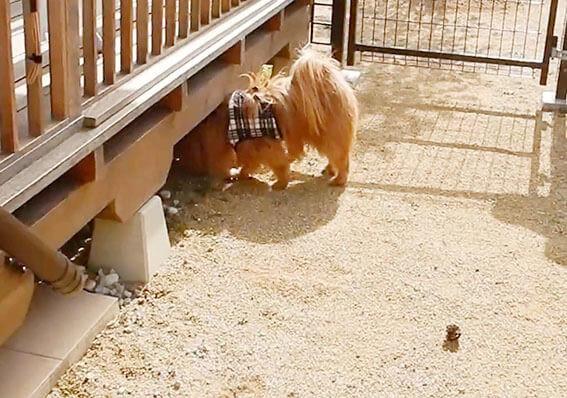 ウッドデッキの床下に入る犬