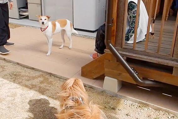 元野犬とミックスの元保護犬