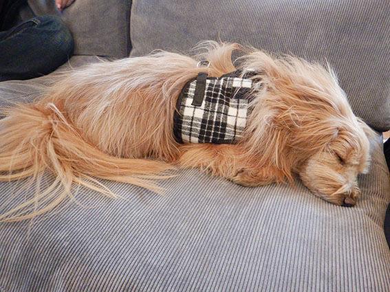 ソファの上で寝る犬