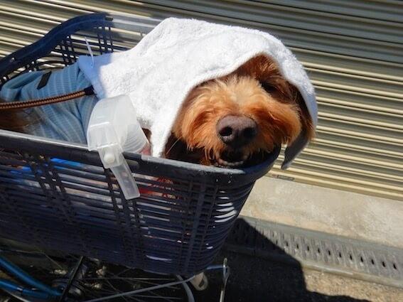 頭にタオルをかぶせられた犬