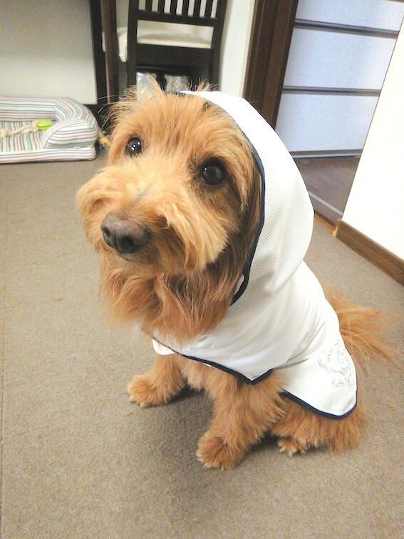 遮熱マントを着る犬