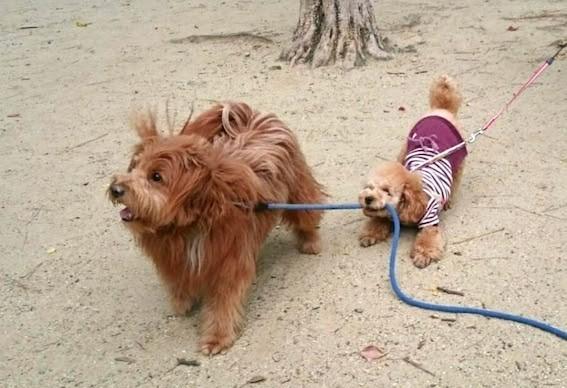 遊んで欲しくて他の犬のリードを引っ張る犬