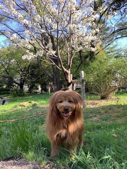 桜の前で笑顔の犬