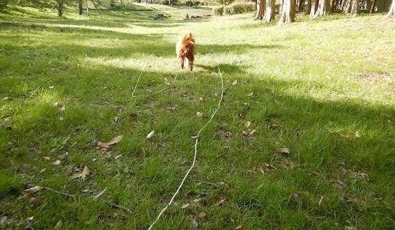 ロングリードを付けてボール遊びする犬