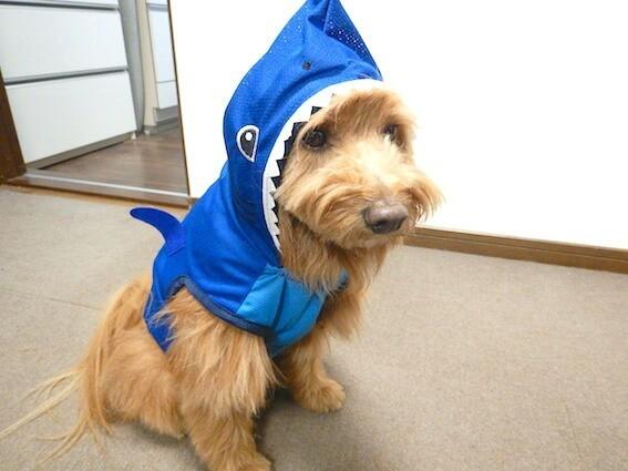 ダイソーのペット服を着ている犬