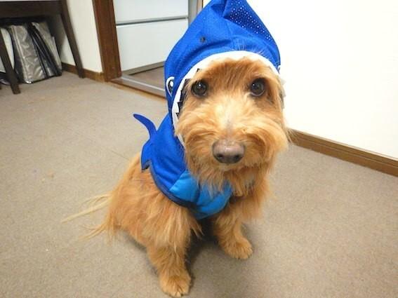 ダイソーのサメのペット服を着ている犬