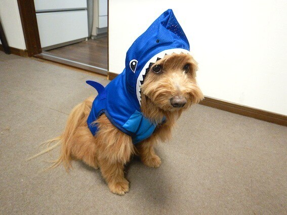 サメのペット服を着ている犬