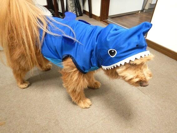 DAISOのペット服サメタイプを着ている犬
