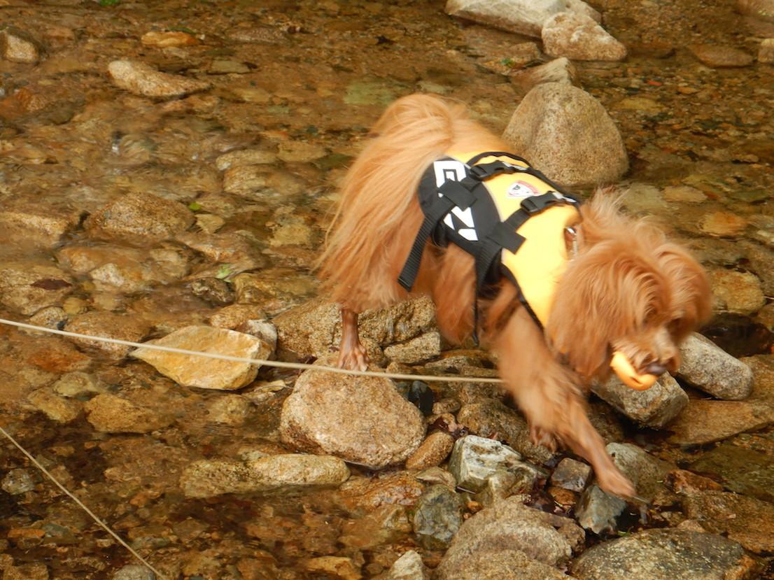 川に入ってボールを取りに行く犬