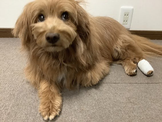 なめないように足に包帯が巻かれている犬