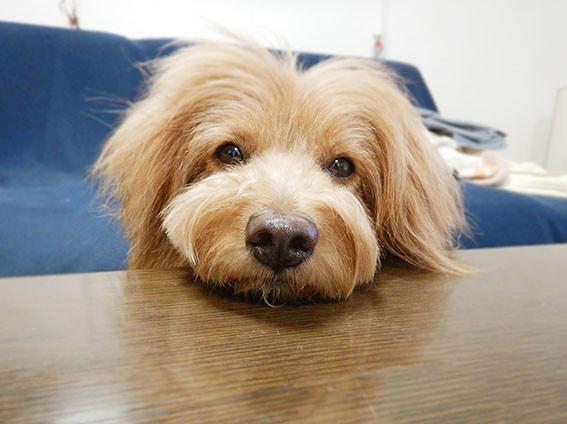 テーブルに顎を乗せている犬の写真