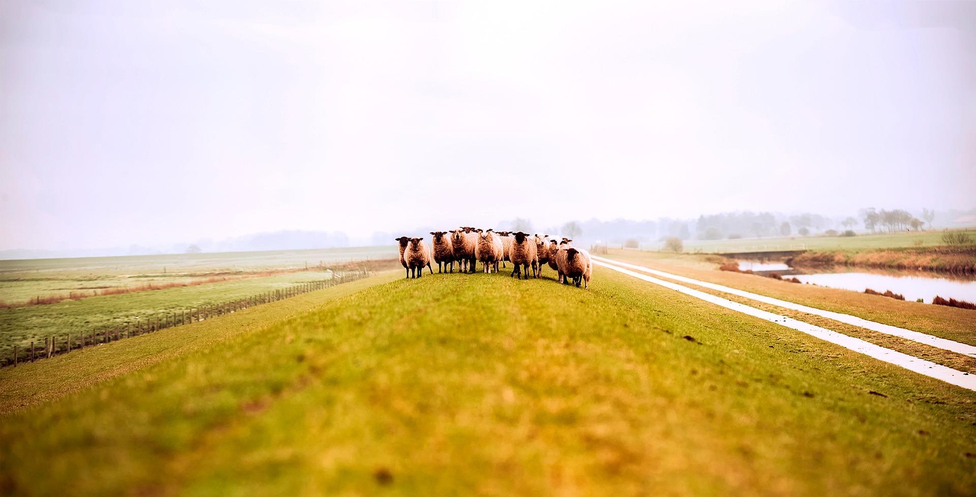 ニュージーランド羊