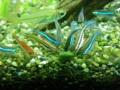 クリスタルグリーンテトラ(横を向いている透明の大きな魚)