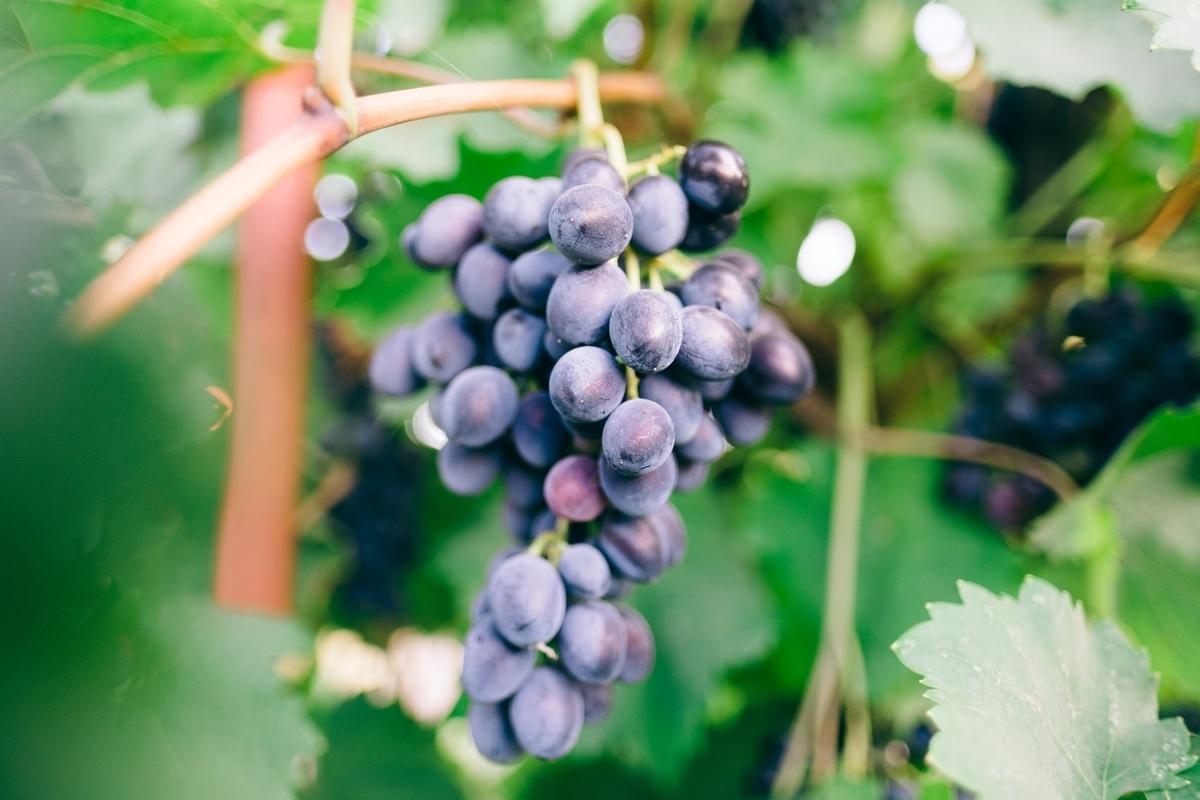 マルベックワインとは?産地や味わいを徹底解説!|theDANN media