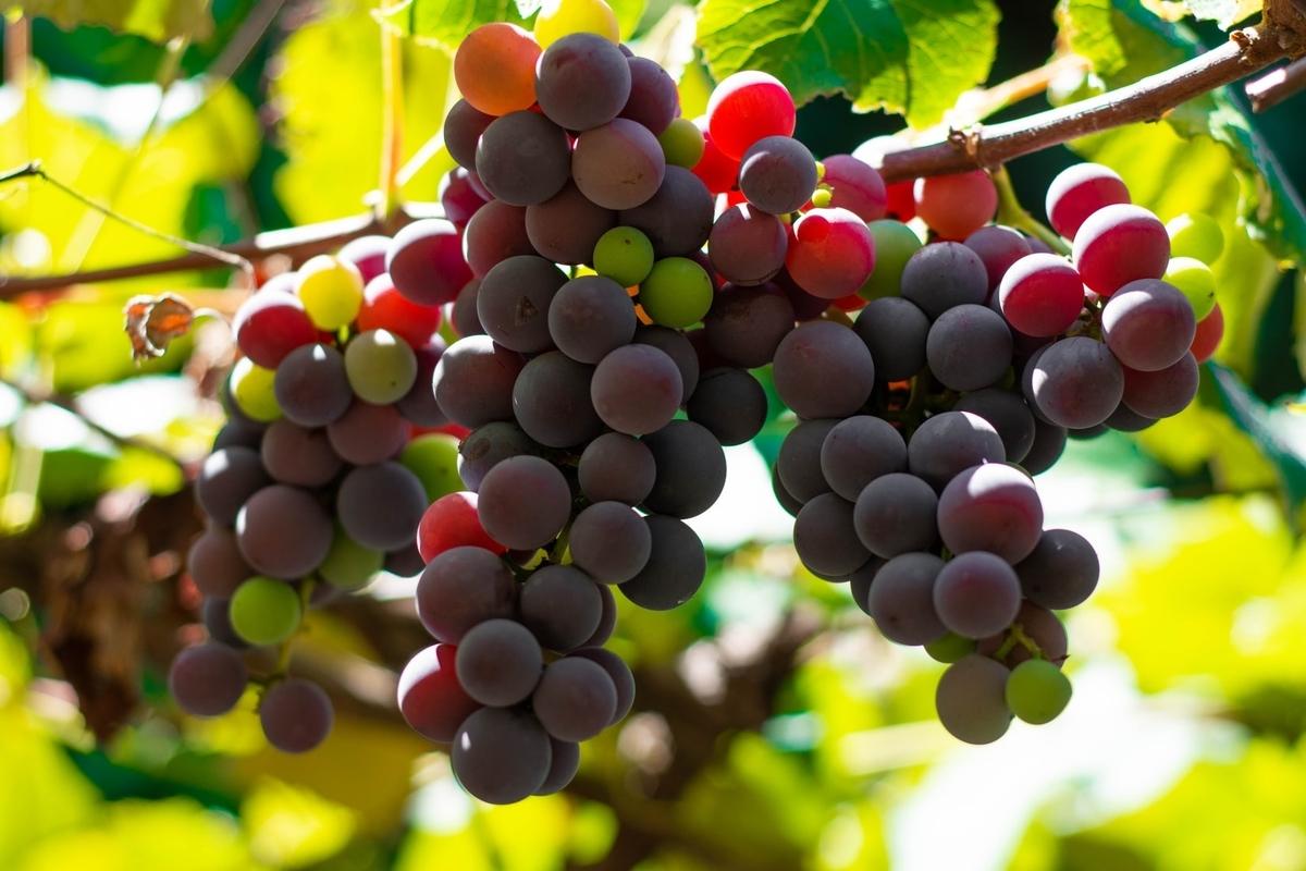 生ワインの産地|theDANN media