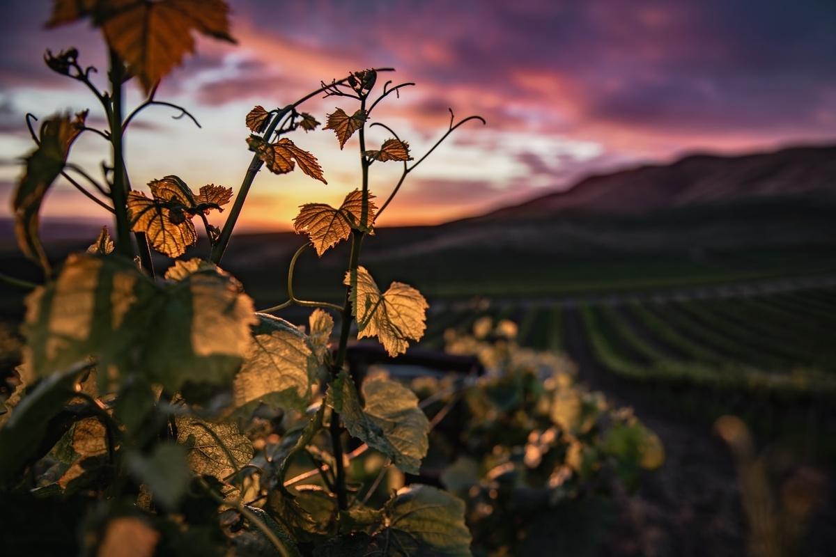 サロンシャンパンのシャルドネの産地|theDANN media