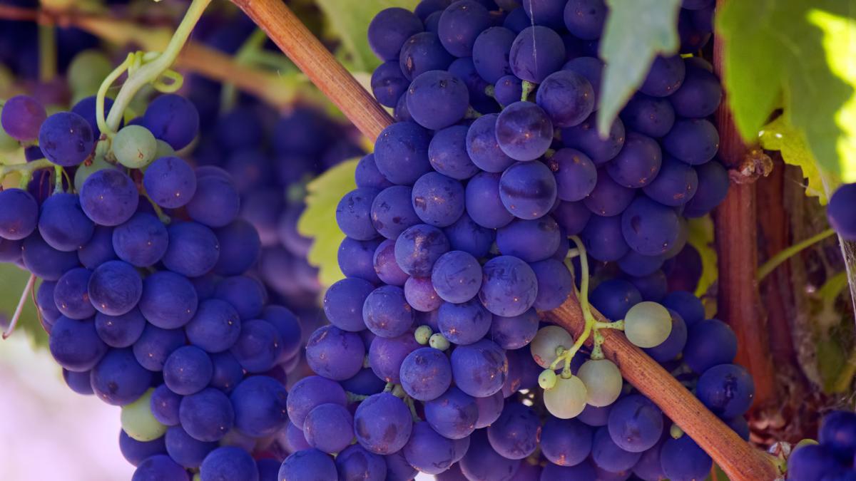 カルメネールとは?産地や味わい、おすすめワインを解説!|theDANN media