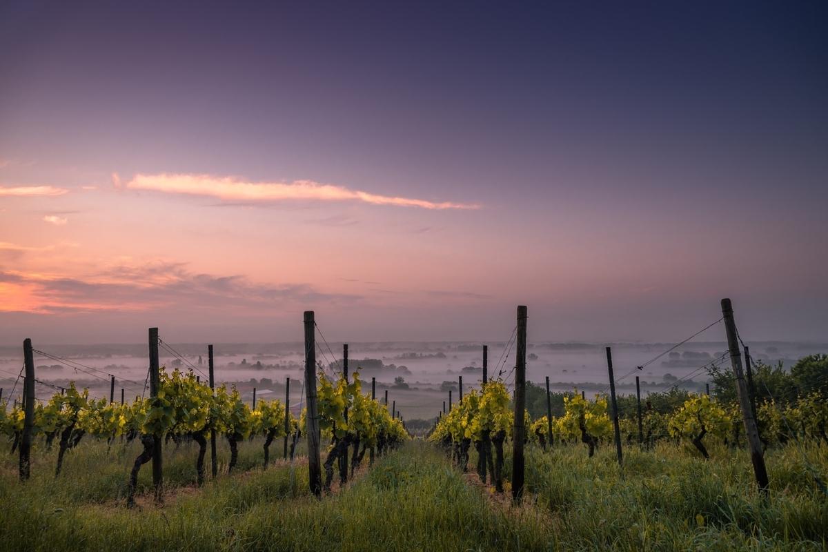 チリのブドウ生産|theDANN media