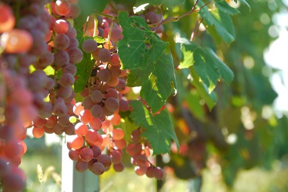 中央葡萄酒のワイナリー|theDANN media