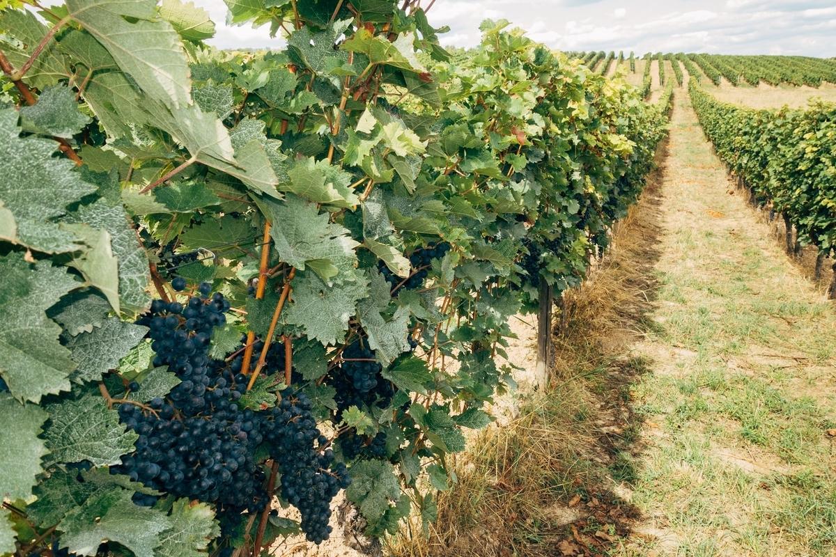 コストコワインのワイナリー|theDANN media