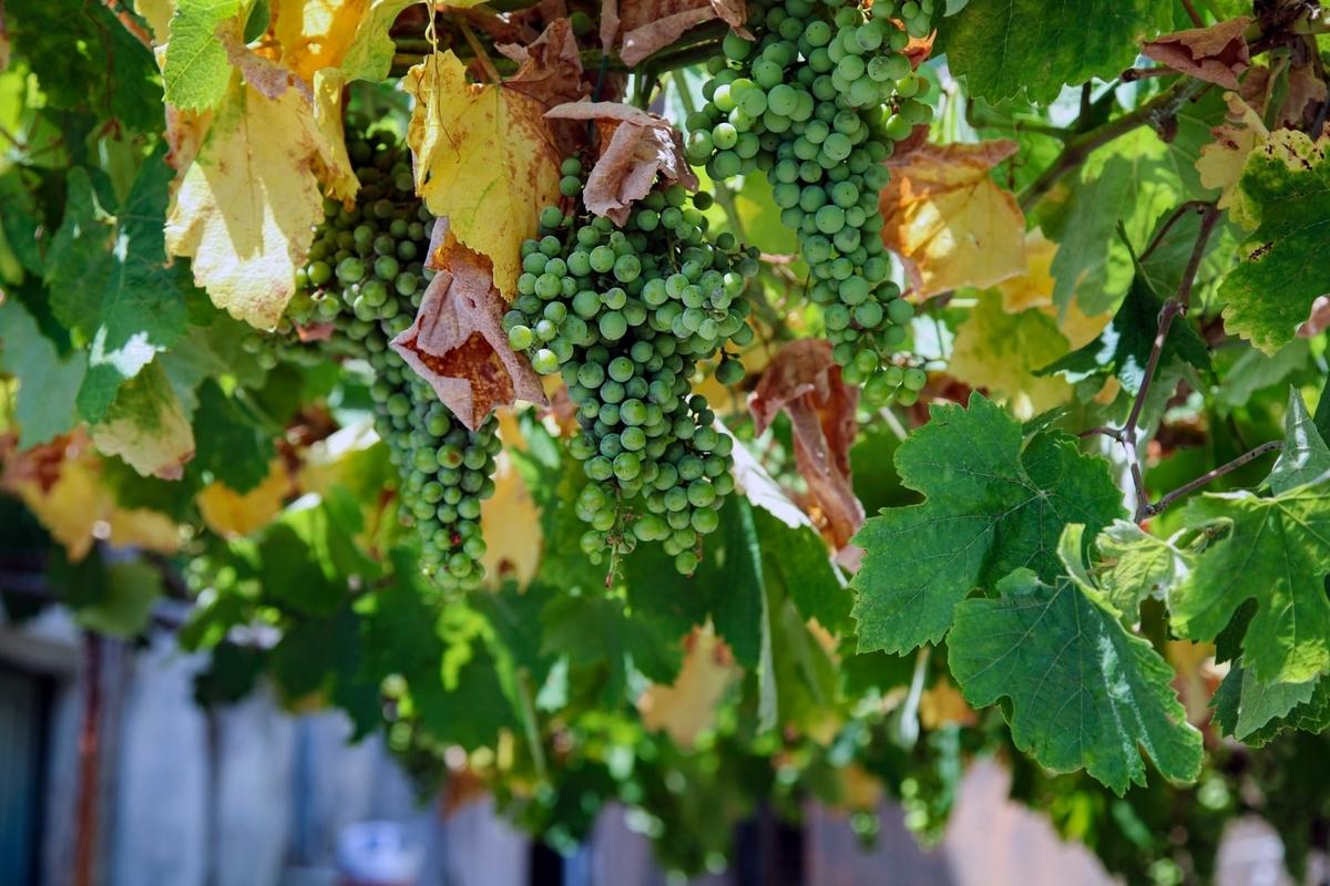 白ワインの原料|theDANN media