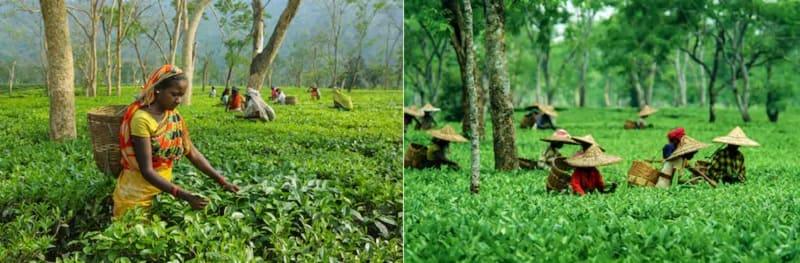 お茶で有名なアッサムの茶畑
