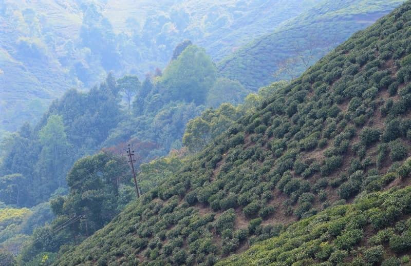 ダージリンに広がる茶畑