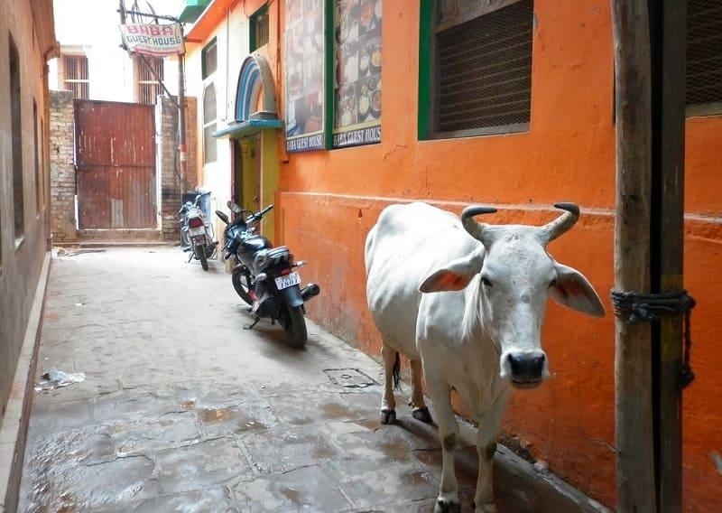 インドで神聖視されている雄のこぶ牛