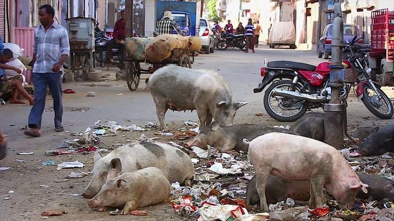 ゴミを漁る豚