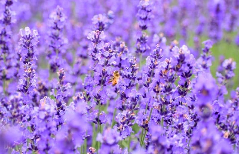 札幌の幌見峠のラベンダー畑とミツバチ