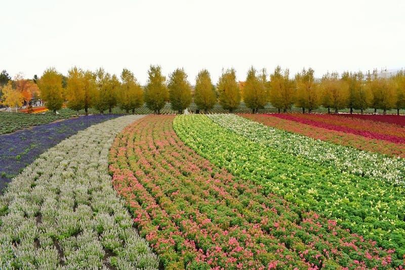 秋のファーム富田の花畑