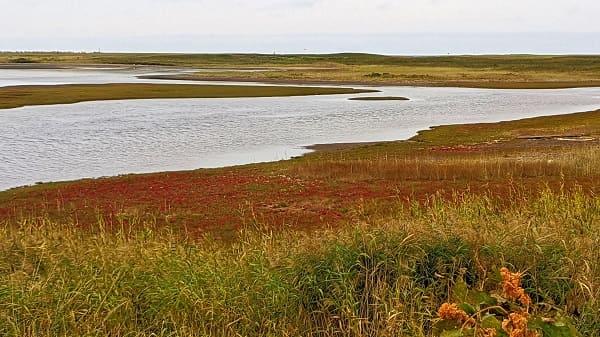 能取湖畔に自生するサンゴ草