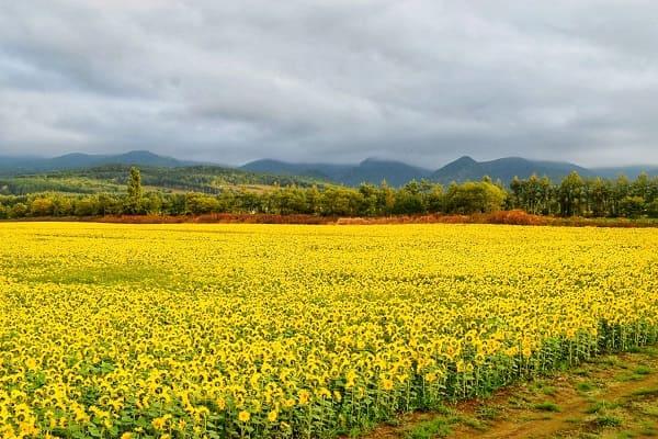 知床の秋のひまわり畑