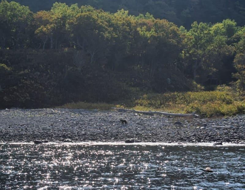 知床 ルシャ湾(ヒグマ)1