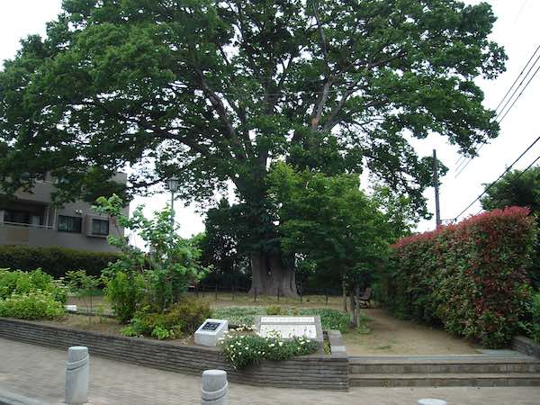 善福寺川トトロの木