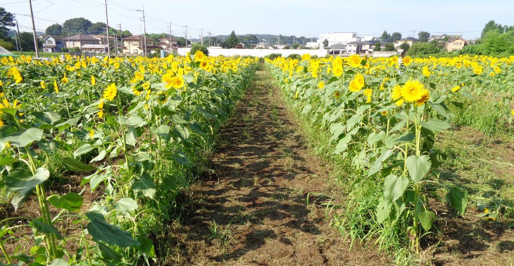 多摩湖自転車道 所沢ひまわり畑