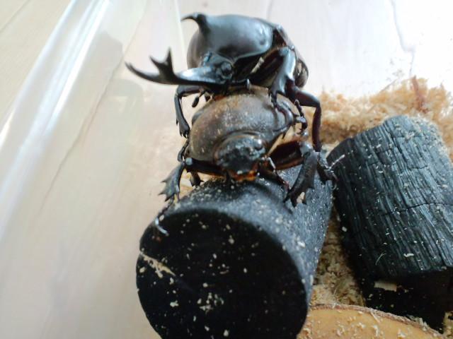 交尾 失敗 カブトムシ