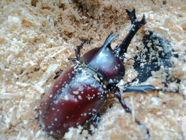 くる カブトムシ て 幼虫 出